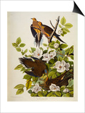Carolina Turtledove. Mourning Dove, Posters by John James Audubon