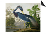 "Louisiana Heron from ""Birds of America"" Prints by John James Audubon"