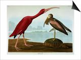 Scarlet Ibis Affiche par John James Audubon