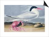Cayenne Tern Affiches par John James Audubon