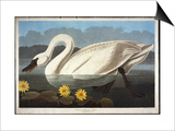 Common American Swan. Whistling Swan Prints by John James Audubon