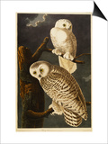Snowy Owl Poster van John James Audubon