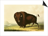 A Bison, circa 1832 Art by George Catlin