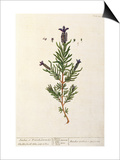 French Lavender, Plate 241 from 'A Curious Herbal', published 1782 Print by Elizabeth Blackwell
