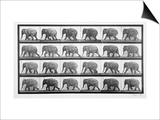 Elephant Walking, Plate 733 from 'Animal Locomotion', 1887 (B/W Photo) Prints by Eadweard Muybridge