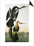 Black-Billed Darter, from 'Birds of America', engraved by Robert Havell Art by John James Audubon