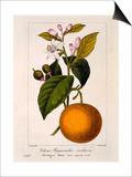 Sweet Orange: Citrus Sinensis Var. Bigaradia Violacea, 1836 Posters by Pancrace Bessa
