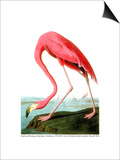 American Flamingo, 1834 Prints by John James Audubon