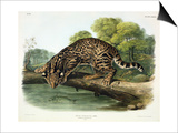 Felis Pardalis (Ocelot or Leopard-Cat), Plate 86 from 'Quadrupeds of North America', Engraved by Posters by John Woodhouse Audubon