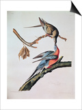Passenger Pigeon, from 'Birds of America' Print by John James Audubon