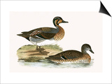 Clucking Teal,  from 'A History of the Birds of Europe Not Observed in the British Isles' Posters by  English