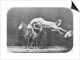Jumping over Three Horses...Chestnut Horse Hornet Posters by Eadweard Muybridge