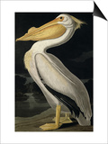 American White Pelican, from Birds of America, Engraved by Robert Havell Print by John James Audubon