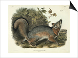 Canis (Vulpes) Virginianus (Grey Fox), Plate 21 from 'Quadrupeds of North America', Engraved by Prints by John James Audubon