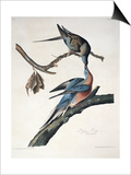 Passenger Pigeon, from Birds of America, Engraved by Robert Havell Prints by John James Audubon