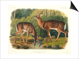 Cervus Virginianus (Common or Virginian Deer), Plate 136 from 'Quadrupeds of North America',… Posters by John Woodhouse Audubon