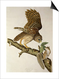 Barred Owl, from Birds of America Prints by John James Audubon