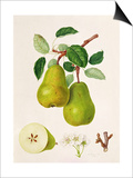 The D'Auch Pear, 1817 Posters by William Hooker