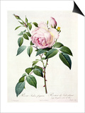 Rosa Indica Fragrans, Engraved by Langlois, Published by Remond Poster by Pierre-Joseph Redouté