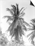 Palm Tree, 1925 Prints by Tina Modotti