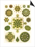 Varieties of Pediastrum from 'Kunstformen Der Natur', 1899 Posters by Ernst Haeckel