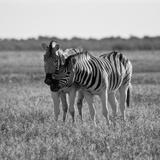 Zebra Photographic Print by Giampaolo Cianella