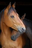 Head Shot of Horse and Pony Hugging on Dark B/G Stampa fotografica di Anne Louise MacDonald