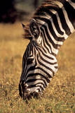 A Grazing Zebra Photographic Print by David Cayless