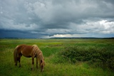Marsh Horse Photographic Print by Alistair Macnaughton