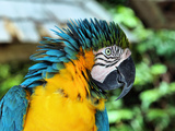 Ruffled Macaw Parrot Stampa fotografica di Photo by Cathy Scola