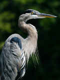 Great Blue Heron Photographic Print by Bill Swindaman