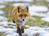 Fox Walking towards Me Reprodukcja zdjęcia autor Picture by Tambako the Jaguar