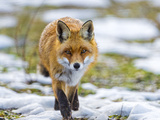 Fox Walking towards Me Photographic Print by Picture by Tambako the Jaguar