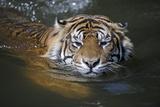 Sumatran Tiger , Panthera Tigris Sumatrae Photographic Print by Ronald Wittek