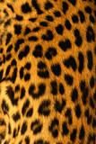 Jaguar Fur Photographic Print by Siede Preis
