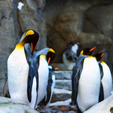 King Penguins at Penguin Plunge Calgary Zoo Photographic Print by  annhfhung