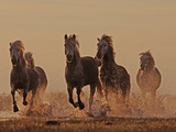 Camargue Horses Running through Water at Dusk Photographic Print by David Tipling