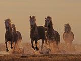 Camargue Horses Running through Water at Dusk Photographic Print by David Tipling