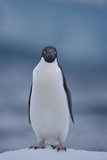 Adelie Penguin on Ice Photographic Print by Theo Allofs