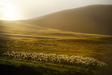 Sheep Herd on Meadows in Evening Light Photographic Print by coolbiere photograph