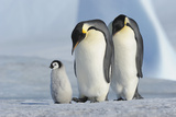 Emperor Penguin Photographic Print by Raimund Linke