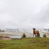 Bull Elk Photographic Print by TOMMY AU PHOTO