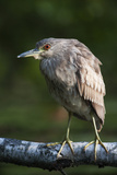 Juvenile Black-Crowned Night Heron Portrait Photographic Print by Johann Schumacher