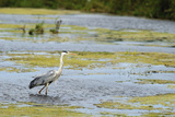 Grey Heron (Ardea Cinerea) Looking for Fish Photographic Print by Sami Sarkis