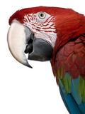 Red-And-Green Macaw - Ara Chloropterus Stampa fotografica di Life on White