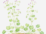 Illustration of Geranium Pyrenaicum (Hedgerow Crane's-Bill), Leaves an Pink Flower on Long Stems Photographic Print by Dorling Kindersley