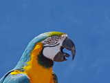 Call of Macaw Stampa fotografica di Photo by Robert Mooney
