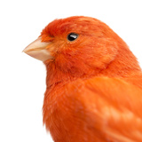 Close-Up of a Red Canary, Serinus Canaria Photographic Print by Life on White