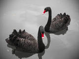Black Swan Photographic Print by Bert Kaufmann Photography