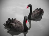 Black Swan Photographic Print by Bert Kaufmann Photography